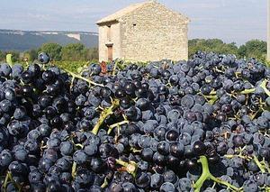 Vendanges 2019 en Côtes du Rhône